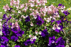 Beautiful, Summer garden with amazing blossom in big flowerpots. M. Nemesis, daisies, blue lobelia Stock Image