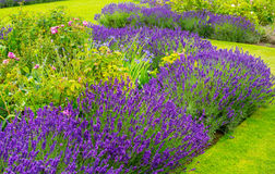Beautiful, summer garden with blooming lavender and various plants Stock Photo