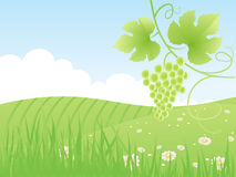 Beautiful summer green field and grape vine, Stock Photography
