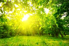 Summer green forest glade in a sunlight Royalty Free Stock Photos