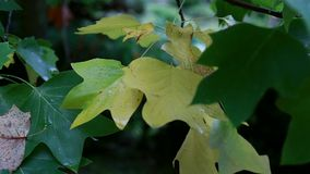 Beautiful summer green and yellow maple tree swinging in the wind stock video footage