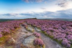 Peak District Heather Royalty Free Stock Images