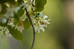 Close up of confederate jasmine on a vine stock photo