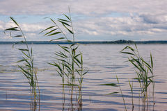 Beautiful summer lake, reeds in the foreground , on  background of forest and sky.  Royalty Free Stock Photography
