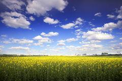 Beautiful summer landscape. With yellow field and blue sky Royalty Free Stock Photo