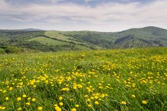 Beautiful summer landscape with blooming yellow dandelions, White Carpathians in background, Czech and Slovak republics, sunny day. Clear blue sky royalty free stock photography