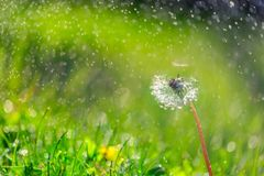 Summer closeup of dandelion flowers and meadow. Bright landscape. Inspirational nature banner background. royalty free stock images