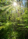 Beautiful summer landscape, dense forest, the sun breaks through the thickets creating beautiful reflections on the. Leaves and grass stock photography