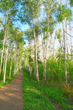 Beautiful summer landscape in birch grove Stock Images