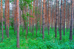 Beautiful summer landscape in forest Royalty Free Stock Image