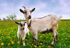 Beautiful summer landscape with a goat Royalty Free Stock Photo