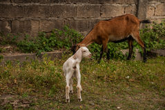 Beautiful summer landscape with a goat and kid. Philippines, island Negros Royalty Free Stock Images