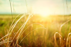 Beautiful summer landscape with grass in the field at sunset Royalty Free Stock Images