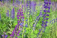 Beautiful summer landscape with a meadow of purple flowers lupins on a background of green grass. Beautiful summer landscape with a meadow of purple lupine stock photos