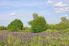 Beautiful summer landscape with a meadow of purple flowers lupins on a background of green grass. Beautiful summer landscape with a meadow of purple lupine royalty free stock photos