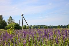 Beautiful summer landscape with a meadow of purple flowers lupins on a background of green grass. Beautiful summer landscape with a meadow of purple lupine royalty free stock photography