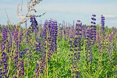 Beautiful summer landscape with a meadow of purple flowers lupins on a background of green grass. Beautiful summer landscape with a meadow of purple lupine stock photography