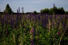 Beautiful summer landscape with a meadow of purple flowers lupins on a background of green grass. Beautiful summer landscape with a meadow of purple lupine stock images