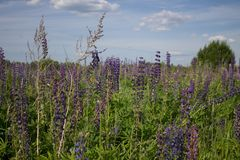 Beautiful summer landscape with a meadow of purple flowers lupins on a background of green grass. Beautiful summer landscape with a meadow of purple lupine stock image