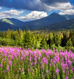 Beautiful summer landscape in mountains with pink flowers Royalty Free Stock Images