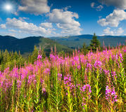 Beautiful summer landscape in mountains with pink flowers Stock Photo