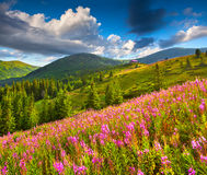 Beautiful summer landscape in the mountains with pink flowers Stock Photo