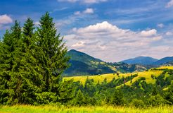 Beautiful summer landscape in mountains. Tall spruce trees on the edge of a hill Royalty Free Stock Image