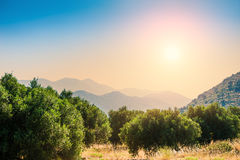 Beautiful summer landscape with olive trees and mountains Royalty Free Stock Photos