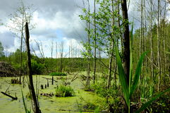 Beautiful summer landscape with swamp. Beautiful summer landscape with the marsh before the storm Royalty Free Stock Images