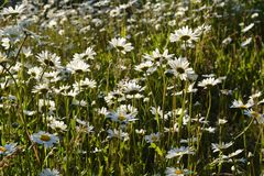 Beautiful summer meadow with flowering daisies in the evening.  stock image
