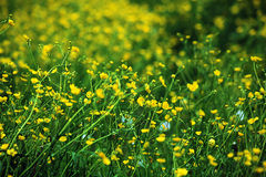 Beautiful summer meadow flowers Royalty Free Stock Image
