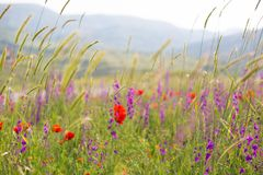 Beautiful summer meadow nature. Spring and summer flowers under blue sky and sunlight near Shemakha, Azerbaijan.  stock photography