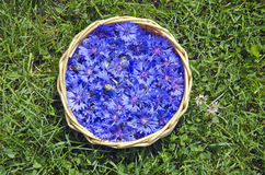 Beautiful summer medical Cornflower in basket on grass Royalty Free Stock Photos