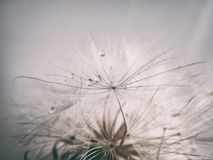Beautiful summer natural flower dandelion in close-up Royalty Free Stock Photo