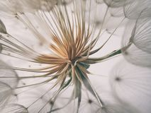 Beautiful summer natural flower dandelion in close-up Stock Photography