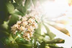 Beautiful summer nature background with green leaves and chestnuts blossom. With sunbeam backlit stock photo
