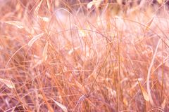 Beautiful summer nature background. Meadow field in prairies with dry tender plants flowers fluffy grass. Warm earthy pink tones. Golden glow. Idyllic tranquil royalty free stock image