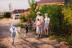 A beautiful summer photo of the family`s pastime. Grandmother and grandchildren graze goats at sunset. Babes are boys in shorts an. D caps royalty free stock photography