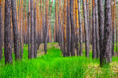 Beautiful summer pine forest Stock Photos