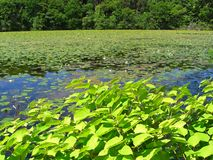 Beautiful summer pond Royalty Free Stock Photo