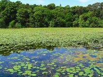Beautiful summer pond Royalty Free Stock Photo