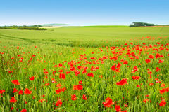 Beautiful Summer Poppies Stock Images