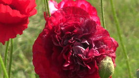 Beautiful summer poppy blossoms in garden stock video