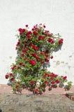 Beautiful summer rose bush near wall in park Stock Image
