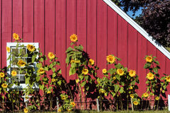 Sunflowers growing in a row against red barn royalty free stock photo