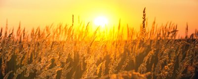 Sunny panorama of spikelets of grasses illuminated by the warm golden light of setting sun. stock image