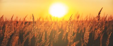 Sunny panorama of spikelets of grasses illuminated by the warm golden light of setting sun. royalty free stock images