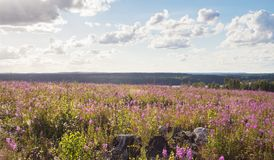 Beautiful summer seasonal photograph. Summer field with willow herbs and great colors. Landscape after bushfire in Västmanland, S. Beautiful summer seasonal stock images