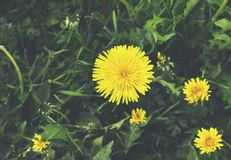 Beautiful summer specific photo. Yellow flowers in the green grass. Summer theme royalty free stock image