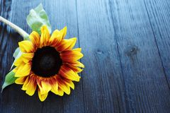 Beautiful summer sunflowers on brown background Stock Images